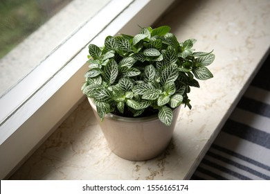 House plant : Fittonia albivenis (nerve plant) from above grows in the flower pot. Small Slow-Growing Indoor Plant on windowsill. Ornamental houseplant. Acanthaceae