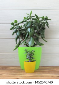 House plant. Floriculture. Crassula. Large and small plant against a white wall. Big and small.