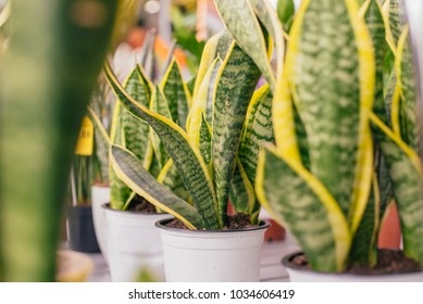 House plant with green-yellow leaves (Sansevieria trifasciata) on a pot