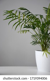 House plant palm tree in a white pot on a white table at day time