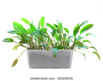 the house plant in a plastic pot is isolated on the white