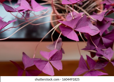 House plant with purple heart-shaped leaves