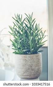 House plant succulent  Senecio serpens or Blue Chalksticks in white pot at window background, close up.