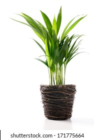 House Plant - Yellow Butterfly Palm