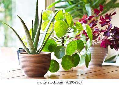 House plants display. Indoor plants in window