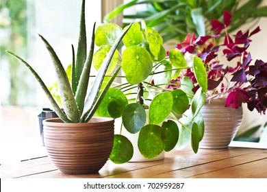 House plants display. Indoor plants in window - Shutterstock ID 702959287