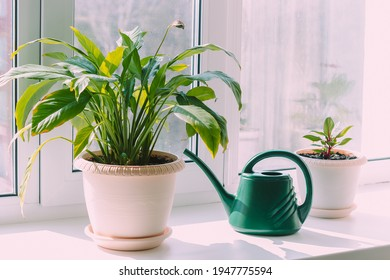 A house plants in flowerpots and green watering can on the windowsill. Sunny day