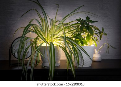 House plants growing indoors home with string led lights illuminating leaves from below in the evening. Cozy home setting. Green glowing leaf.