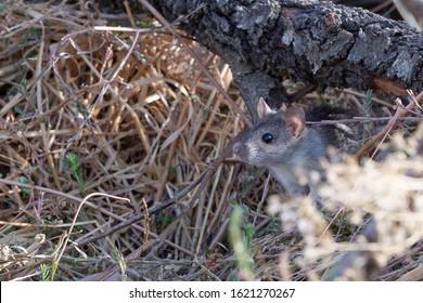 house rat (Rattus rattus) Malaga, Spain