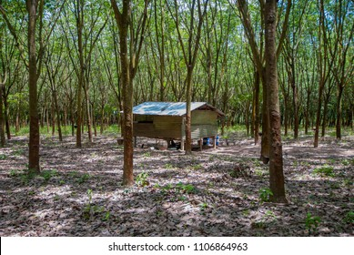 Latex+plantation+people Images, Stock Photos & Vectors