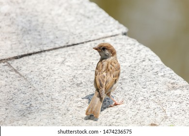 House Sparrow bird at Beijing, China, Passer domesticus