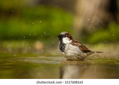 House sparrow bird in the garden taking a bath with some water drops splashing