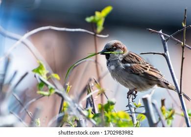 A house sparrow building a nest (Passer domesticus)
