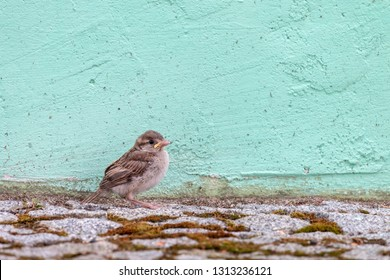House Sparrow chick sitting on the ground in the city. Young birdie with yellow beak (Passer domesticus) on stone pavement with light green wall in background.