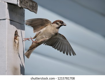 a house sparrow during flight at the nest box with a fledgling