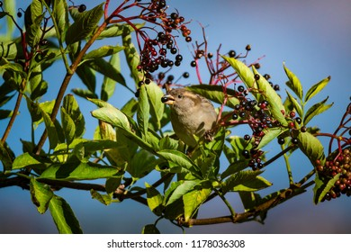 House sparrow eating black Aronia berries