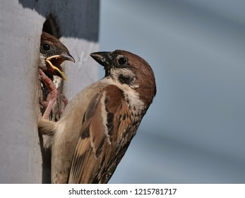 a house sparrow feeding fledgling at the nesting box, close