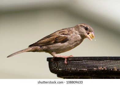 House Sparrow Feeding, Passer domesticus,
