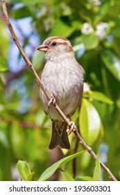 House Sparrow female (Passer domesticus)