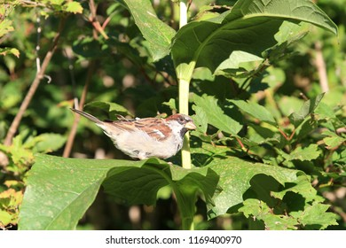 House Sparrow male drinking from Sunflower leaf