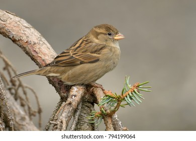 house sparrow on a branch