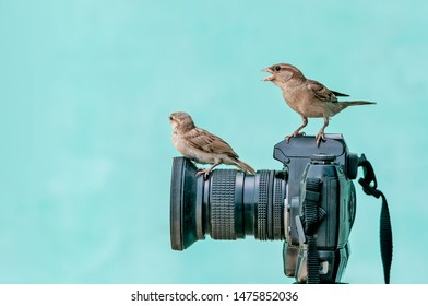 House sparrow on camera-The house sparrow (Passer domesticus) is a bird of the sparrow family Passeridae, found in most parts of the world. It is a small bird that has a typical length of 16 cm