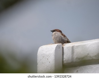 House sparrow on fence. Blue sky in background. House sparrow portrait.
