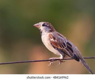 House Sparrow on old wire fence, Passer domesticus