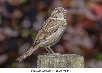 House sparrow on post against dark red background