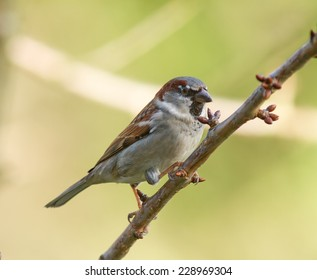 A House Sparrow on a tree branch.