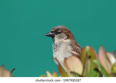 House Sparrow (Pacific Northwest)  The house sparrow is a bird of the sparrow family Passeridae, found in most parts of the world.