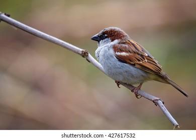 House Sparrow (Passer domestics) on a log.
