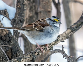 house sparrow (Passer domesticus) is a bird of the sparrow family Passeridae