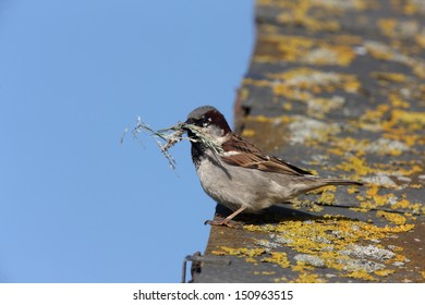 House sparrow, Passer domesticus, male with nest material, Scotland, summer