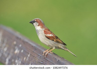 House Sparrow( Passer domesticus ) in nature