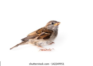 House Sparrow (passer domesticus) on a white background