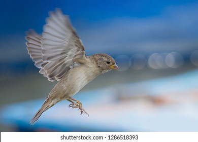 House sparrow (Passer domesticus) Passeridae in flight. Beautiful bird spreading wings wide open against bluish isolated background.