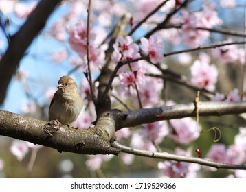 House sparrow, Passer domesticus, single male on tree.