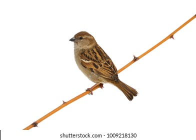 House sparrow (Passer domesticus) sitting on a branch with thorns (isolated on a white background).
