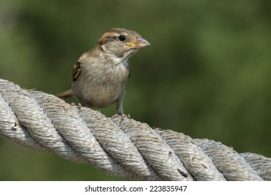 House sparrow at the rope