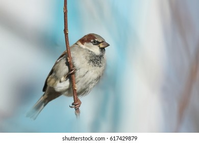 House sparrow sitting on the branch