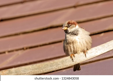House Sparrow sitting on the roof top