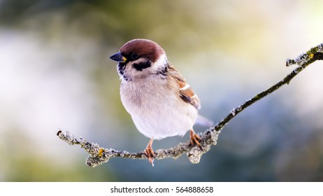 House sparrow sitting on a tree branch.