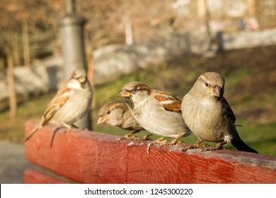 House sparrow sitting outside. Urban birds. Tree sparrow