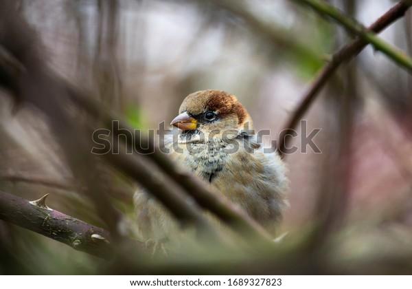 House sparrow sitting in a shrub. Wild bird in winter.