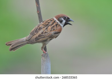 House Sparrow standing on branch