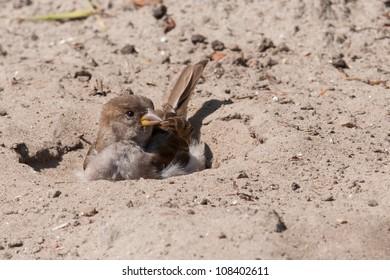 House sparrow taking a sand bath
