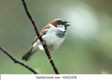 House Sparrow(male)