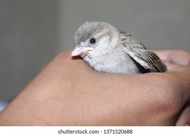 house sparrows are the most common bird but rare to see sparrow as pet . sparrow are not only cute but also very friendly. in this picture sparrow is in hand