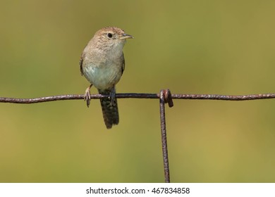 House Wren perched on a page wire fence.